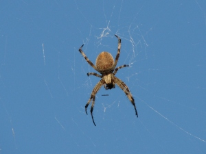 An Orb Weaver, by Axel